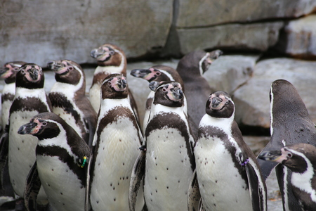 A groups of African penguins on rocks