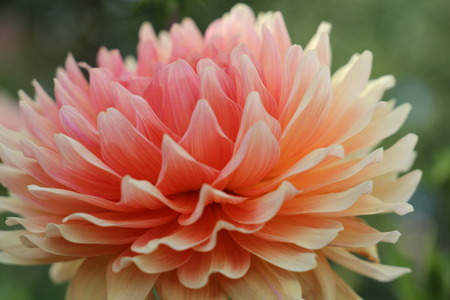 Pink, yellow and white fresh dahlia flower macro photo.