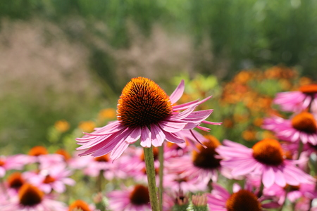 Lavender pink, Echinacea with spiky green cone brightened with orange tips