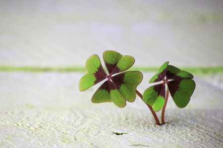two four-leaf clover grows from wood underground, background concept