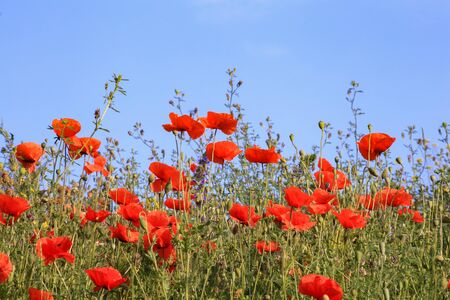 Poppies field in summer with wildflowers and sky