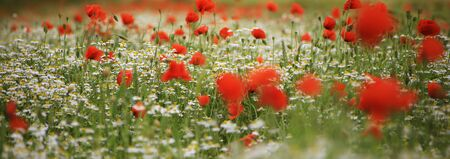 a lot of red Poppy Flower Close Up background