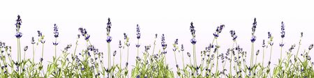 lavender flowers with green as panorama background