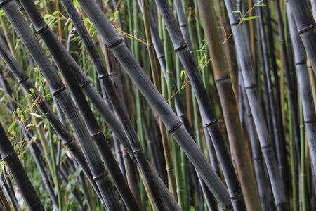 Bamboo forest with green and dark rods Standard-Bild