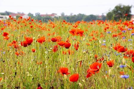 green and red beautiful poppy flower field background.