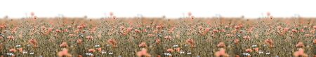 Poppy field panorama with pink poppies and deep sharpness.
