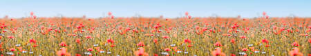 Poppy field panorama with red poppies and deep sharpness
