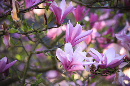 Closeup of magnolia tree blossom with blurred background and warm sunshine 写真素材