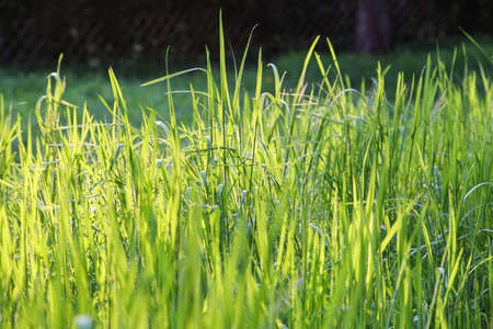 Bright vibrant green grass close-up in Summer. 写真素材