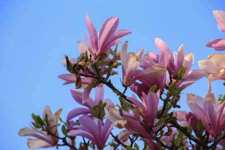 Natural background concept. Pink magnolia branch. Magnolia tree blossom.