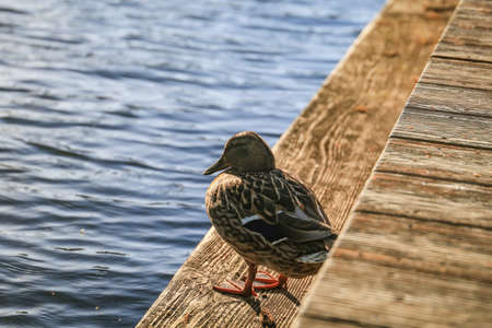 Close up of colorful male wood duck standing on plank walkway 写真素材
