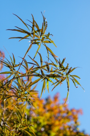 Japanese maple  Acer Palmatum   Stock Photo - 21427644