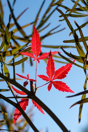 Red and green foliage of Japanese maple against clear blue sky  photo