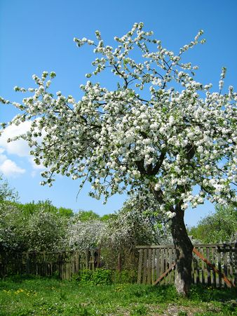 Blooming fruit tree Stock Photo