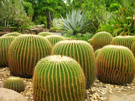 Giant cactuses in Nong Nooch Garden, Pattaya, Thailand Stock Photo