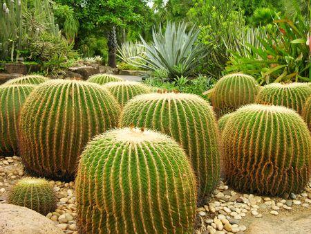 pattaya: Giant cactuses in Nong Nooch Garden, Pattaya, Thailand Stock Photo