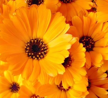 Calendula flowers 版權商用圖片
