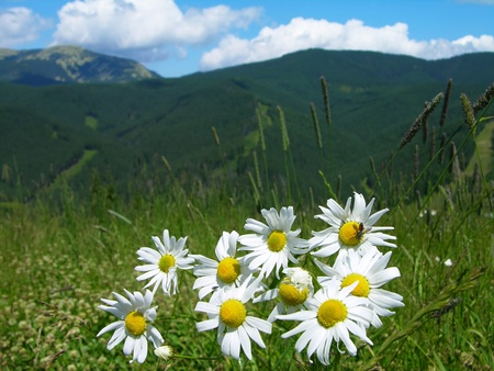 Daisies in Carpathian mountains, Ukraine