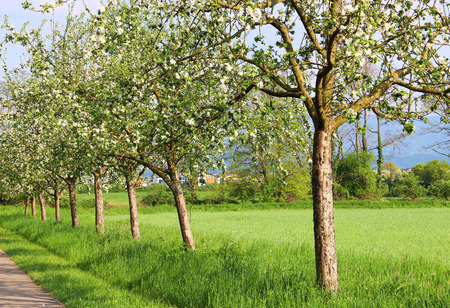 Blooming fruit trees in Mundenhof park, Freiburg, Germany photo