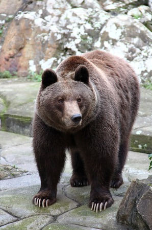 ursus: Brown bear in the zoo of Thessaloniki