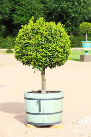 topiary: Small topiary tree in the pot decorates the park of Charlottenburg palace in Berlin