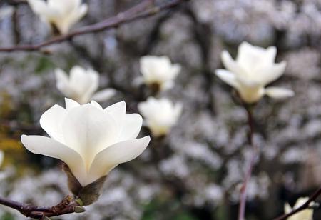 White magnolia tree in blossom