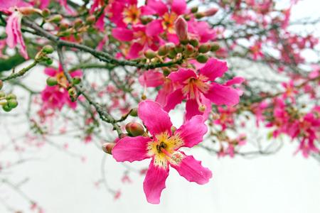 Flowers of Silk Floss Tree (Ceiba speciosa)