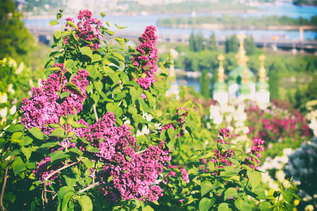 Lilac blossom in botanical garden in Kyiv and Vydubychi monastery on the background, Ukraine Stock Photo