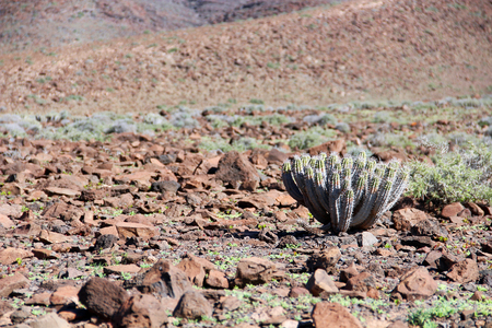 Vegetation of Jandia mountains on Fuerteventura, Canary islands, Spain 写真素材 - 122136633