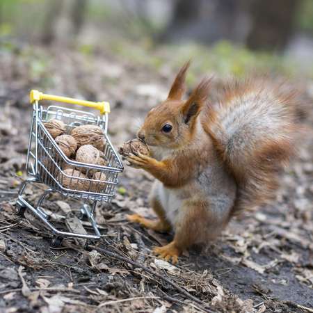 Red squirrel goes shopping with the small shopping cart full of walnuts Banque d'images