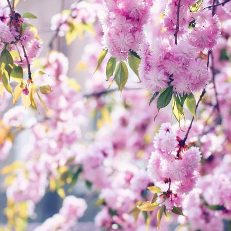 Branches of blooming pink sakura (flowering cherry) in spring