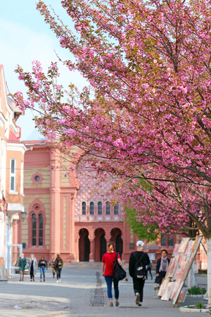 Pink sakura cherry blossom in the center of Uzhgorod near Transcarpathian Regional Philharmonic building, Ukraine