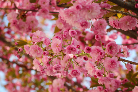 Branches of blooming pink sakura (flowering cherry) in spring