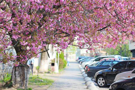 Street with pink sakura (flowering cherry) blooming tree in Uzhgorod, Ukraine