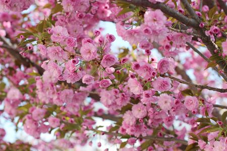 Branches of blooming pink sakura (flowering cherry) on the tree in spring