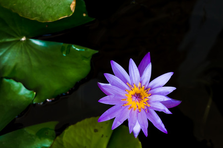 fish bowl: Beaulfull water lily in the fish bowl with center focusing