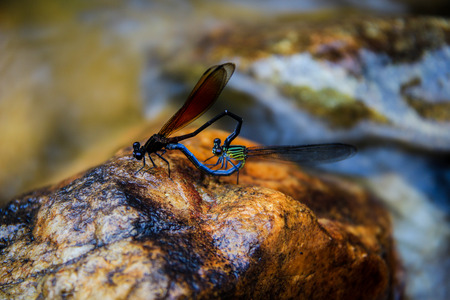 zygoptera: The two dragonflys are breeding at waterfall