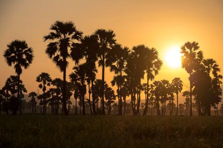 sugar palm: Green field or rice farm with sugar palms  in Thailand Stock Photo