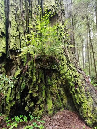 Redwood Burl Reklamní fotografie - 93751283