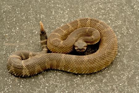 Pronto per Strike Rattlesnake