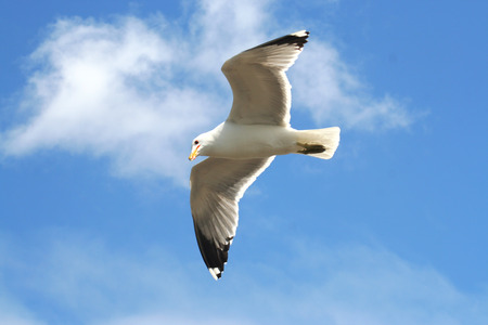 Flying Seagull in Clear Blue Sky
