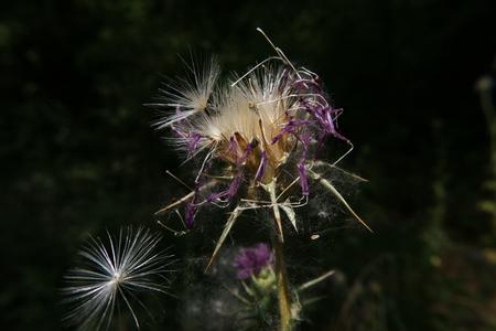 Dried Purple Weed
