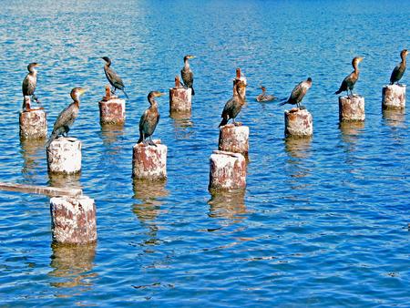 Flock of Cormorant Birds at Coast Stock Photo