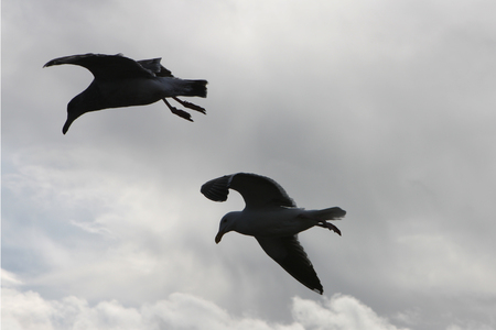 Soaring Seagulls in Stormy Sky Stock Photo