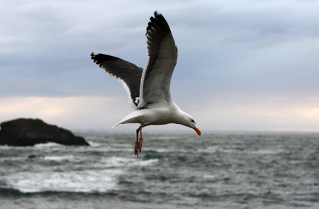 Flying Seagull at Coast Banque d'images