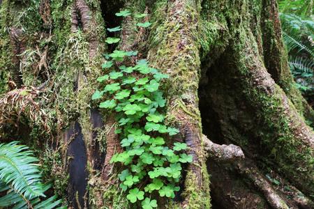 Redwood Tree 写真素材