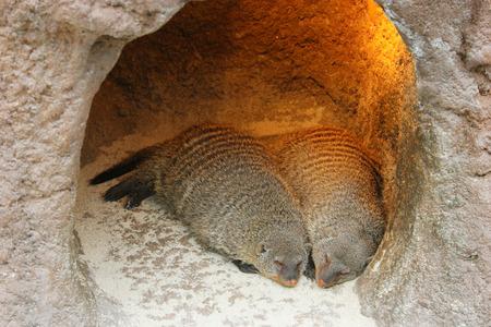mangosta: mangosta dormir