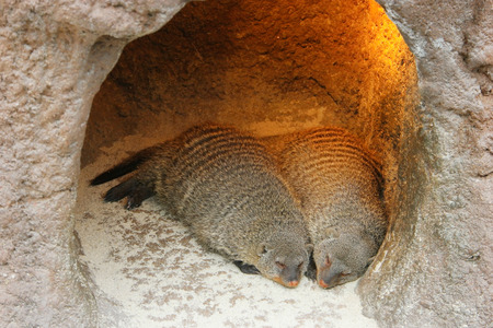 mongoose: sleeping mongoose