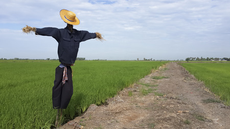 countrified: A straw puppet call scarecrow has character look like man or farmer standing protect rice field from birds.