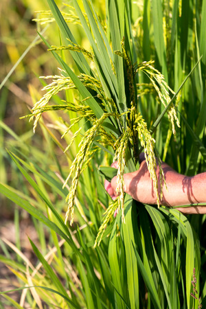 one hand: One Hand grip crops near harvest time in rice field.